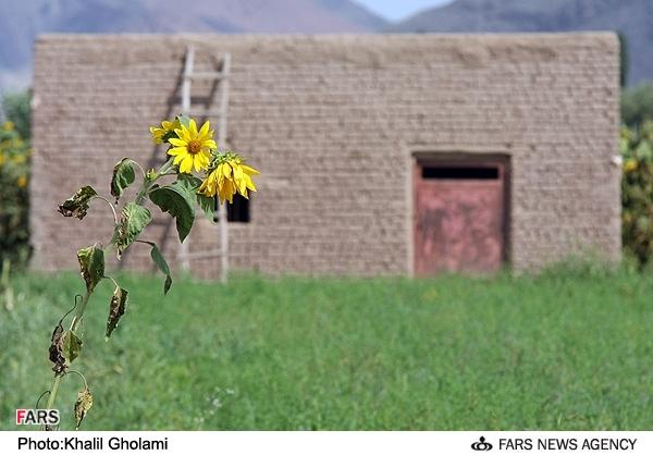 مزرعه گل آفتابگردان در شهر خوی