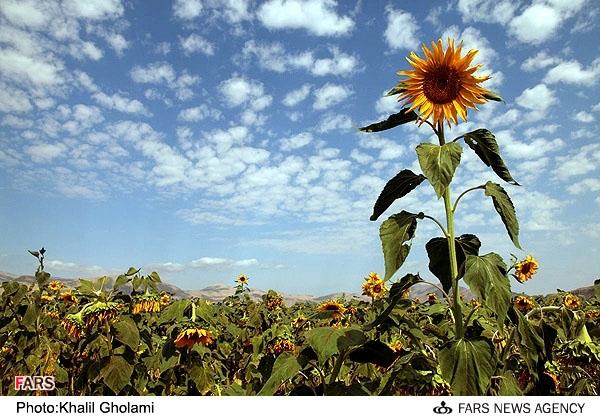 گل آفتاب گردان ، گل عاشق